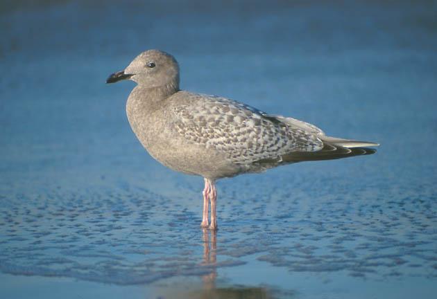 Thayer's and Herring Gulls | John Rakestraw |Thayers Gull