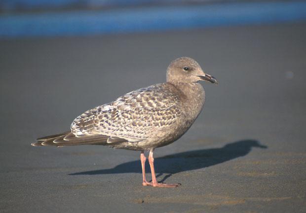 Thayer's and Kumlien's Gulls at Oshawa |Thayers Gull